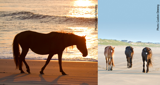 Horses in Corolla Outer Banks