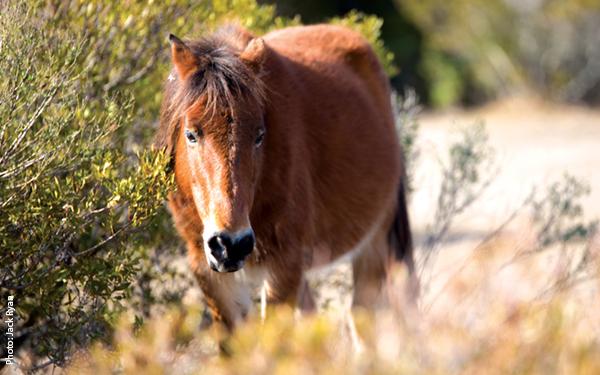Wild Horses - Corolla
