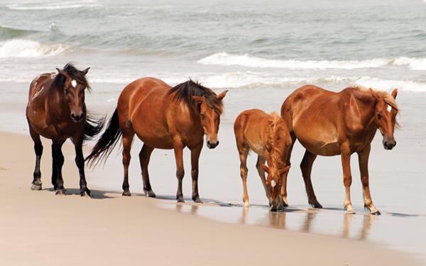 Wild Horses Corolla Beaches
