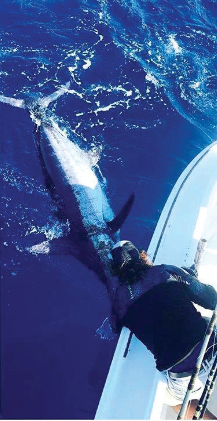 The Albatross Fleet has caught blue marlin over 800 pounds