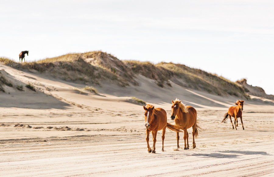 wild horses in Corolla, North Carolina