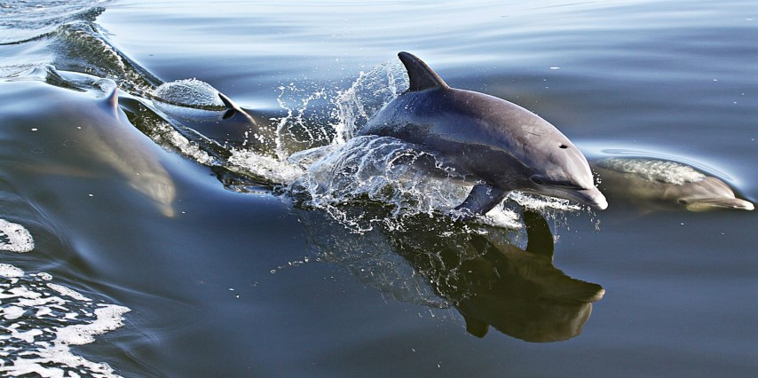dolphins on Crystal Dawn Headboat