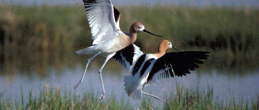 Pea Island Bird Walk