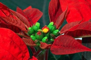 Poinsettia Week at the Gardens
