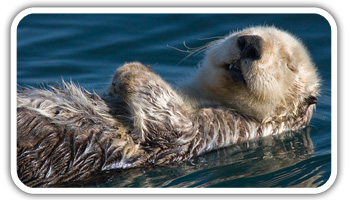 Otter floating on back