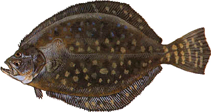 Flounder (Local)