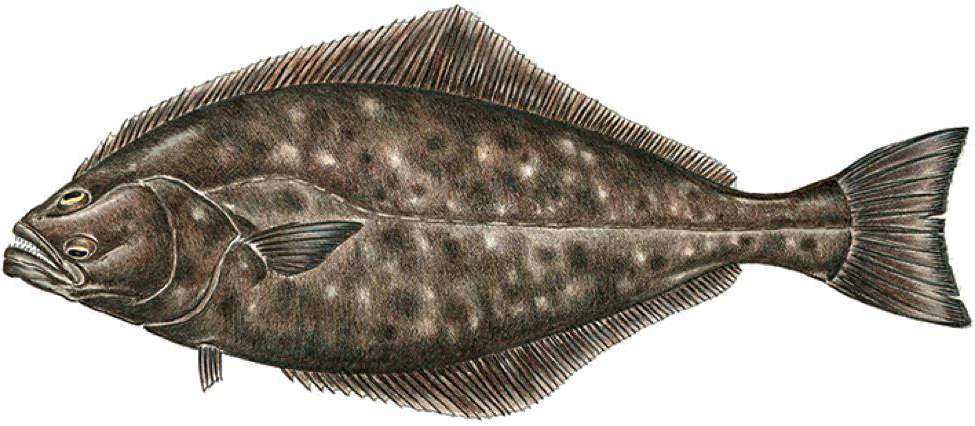 Halibut (North Atlantic)