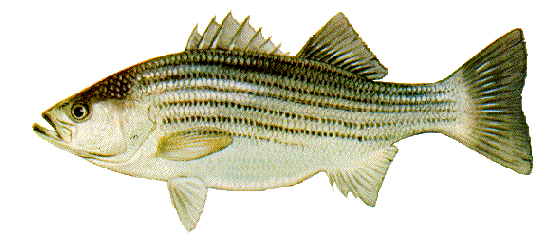 Rock Fish or Striped Bass (Seasonal)
