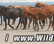 We Guarantee To Find You The Wild Ponies Of Corolla Or Your Money Back - Wild Horse Adventure Tours