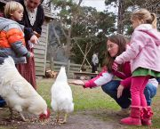 Feed the Chickens - Island Farm