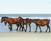 See The Wild Horses! - Corolla Wild Horse Tours