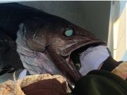 Oceans East Bait & Tackle Nags Head, An interesting catch in Hatteras!