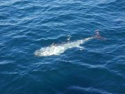 Tuna Duck Sportfishing, Multiple Hook-ups Bluefin Tuna