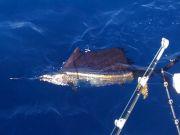 Tuna Duck Sportfishing, Goal Realized!