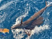 Tuna Duck Sportfishing, Sailfish Release