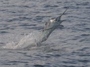 Bite Me Sportfishing Charters, Marlins and Dolphin!