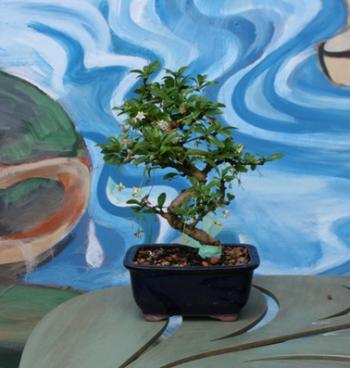 """Silver Bonsai Gallery, 8"""" FUKIEN TEA"""
