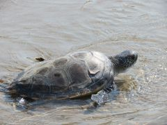 Green Sea Turtle Release