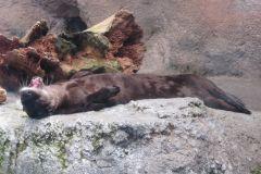 Sleepy river otter