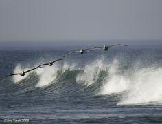 Pelican Photograph, Eve Turek