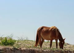 Currituck County Wild Horse