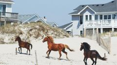 Currituck County Wild Horses