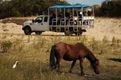Back Beach Wild Horse Tours Corolla NC photo