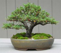 Silver Bonsai Gallery photo