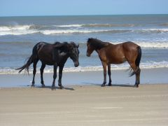 See the wild horses of Corolla with Back Country Safari Tours