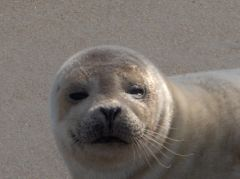 Seal sighting with Bob's Wild Horse Tours