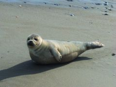 Seal sighting in Corolla, NC