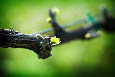 Sanctuary Vineyards photo
