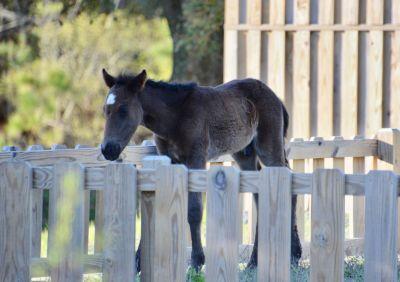 Corolla Wild Horse Museum photo
