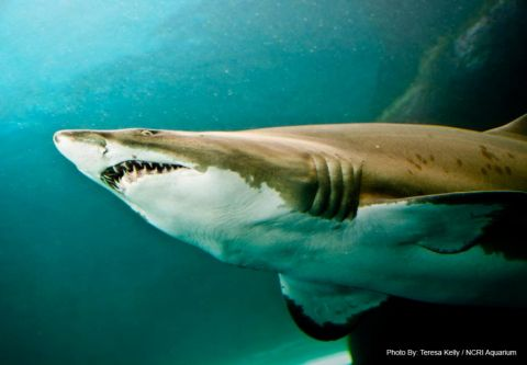 North Carolina Aquarium on Roanoke Island, Shark Bites