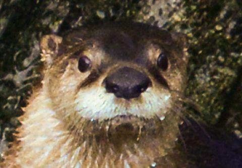 North Carolina Aquarium on Roanoke Island, Happy Otter Hour