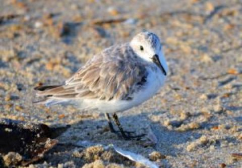 Hatteras Island Ocean Center, Birding the Barrier Islands