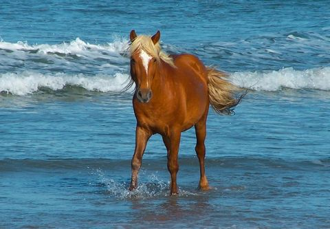 Corolla Wild Horse Museum, Sponsor a Horse