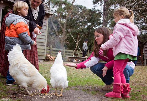 Island Farm, Feed the Chickens