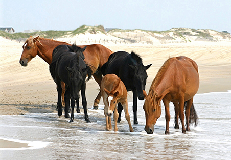 Corolla Outer Banks Horses